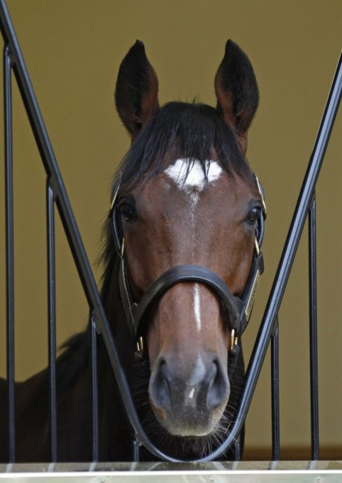 *The world's highest ranked thoroughbred racehorse Frankel, in his new box at Juddmonte Farms Banstead Manor Stud.