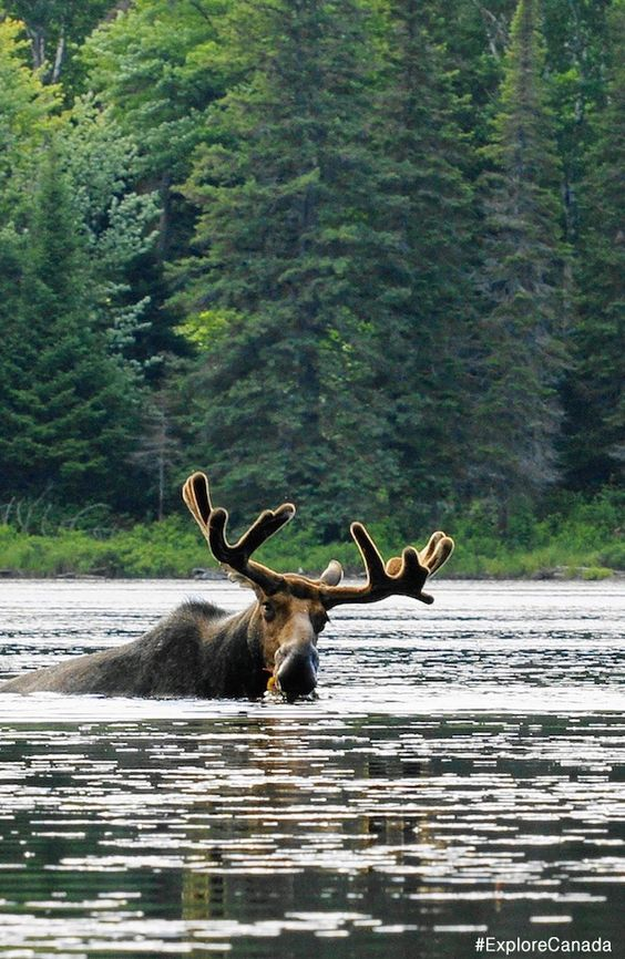 Moose takes a dip in the lake at Algonquin Provincial Park, Ontario | @explorecanada
