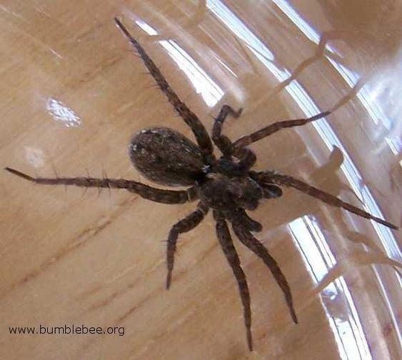 Natural Spider Killer : 1c of vinegar, 1c pepper, 1t oil, 1t liquid soap - spray