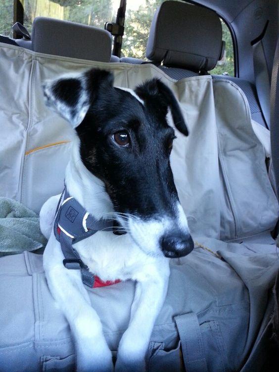 San Antonio, TX - Smooth Fox Terrier. Meet PAIGE, a dog for adoption ...