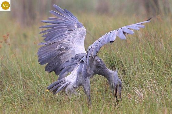 https://www.facebook.com/WonderBirds-171150349611448/ Cò mỏ giầy; Họ Cò mỏ giầy-Balaenicipitidae; châu Phi || Shoebill/Whalehead (Balaeniceps rex) IUCN Red List of Threatened Species 3.1 : Vulnerable (VU)(Loài sắp nguy cấp)