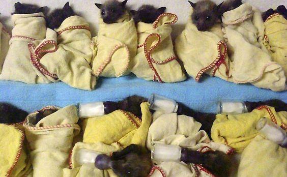 Filhotes de morcego são alimentados na Austrália; milhares sucumbiram ao calor extremo e morreram caindo das árvores. Foto: Trish Wimberley/Associated Press