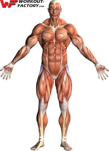 Le muscle Tenseur du fascia lata