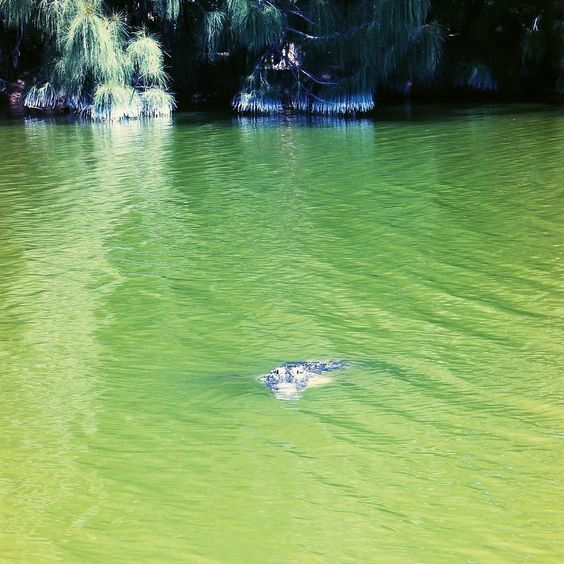 When I'm this close to a gator there's usually a fence between us  The surprises you find on your lunch break! Can anyone guess which #SWFL park this was taken at? #alligator #sunshinestate by floridatravelswithkids