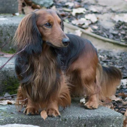 10 Beautiful Long Haired Dachshund Pictures Long Haired