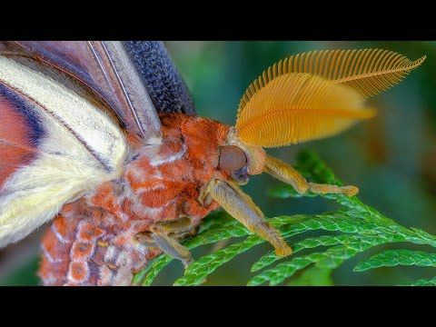 Attacus Atlas Moth Development Atlasspinner Motte Entwicklung Fhd Youtube Atlas Moth Moth Large Moth