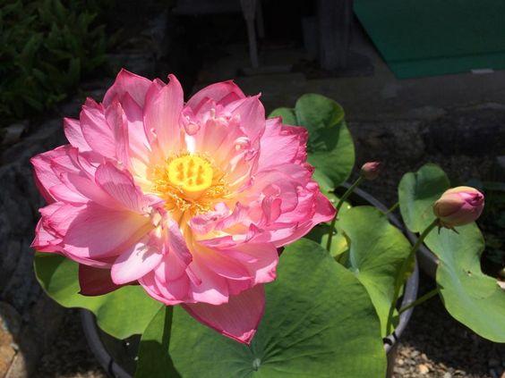 Lotus,Hyogo / 蓮(はす) 白毫寺 丹波市