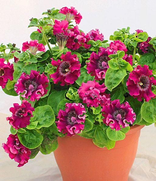 Pin Von Lavandovaya Mama Auf Usadba Petunien Sommerblumen Und