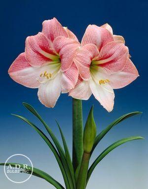 Amaryllis Dutch 'Apple Blossom' Amaryllis: