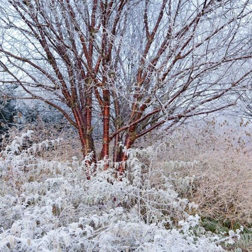 Prunus Serrula Tibetan Cherry Flowering Cherry Tree Winter Garden Trees To Plant