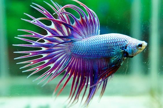 Siamese Fighting Fish - Green Lavender Dragon Crown tail Betta Splendens: