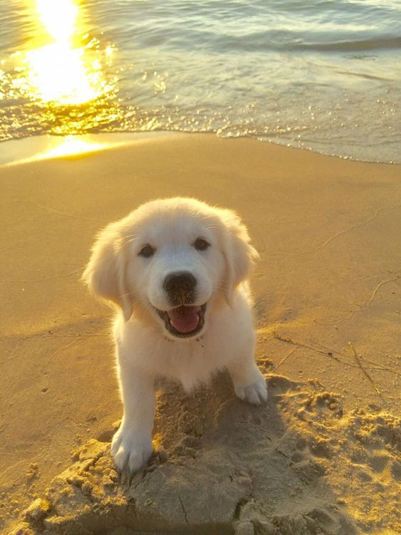 30 Best Dog Names For Gorgeous Golden Retrievers Pictures Cute