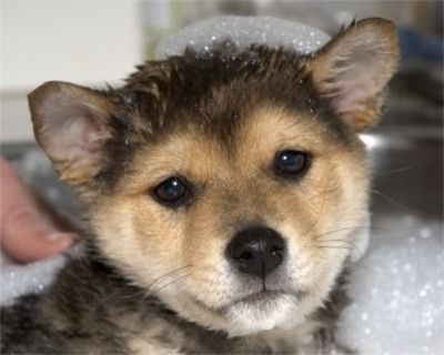 Pinned with Pinterest  App for iPad!  Get it at the App Store!: Puppies And Dogs, Small Pet, Puppies Dogs, Shiba Inu, Box Market, Shibainu Puppy, Pictures Puppys