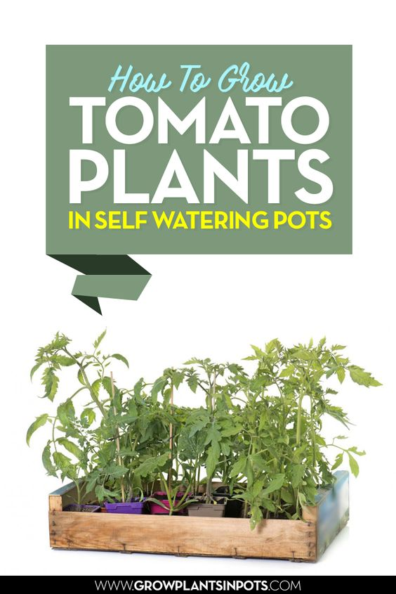 How To Grow Tomato Plants In Self Watering Pots