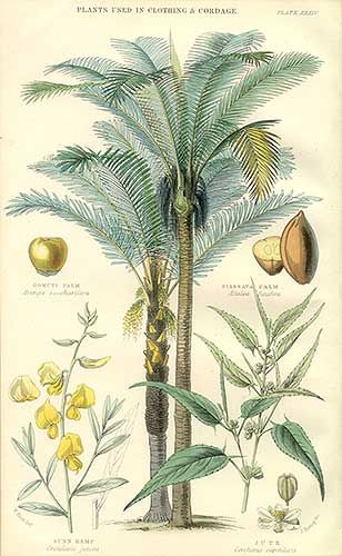 Palms used for cordage & fibers, vintage hand colored botanical engraving by William Rhind: