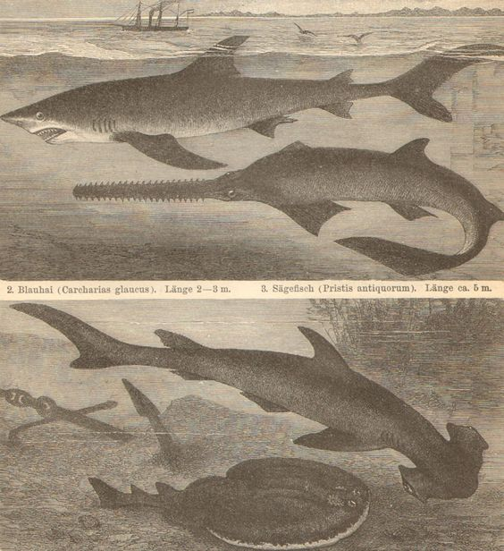 1904 Fishes, Dogfish, Shark, Sawfish, Ray, Rabbitfish Original Antique Engraving to Frame