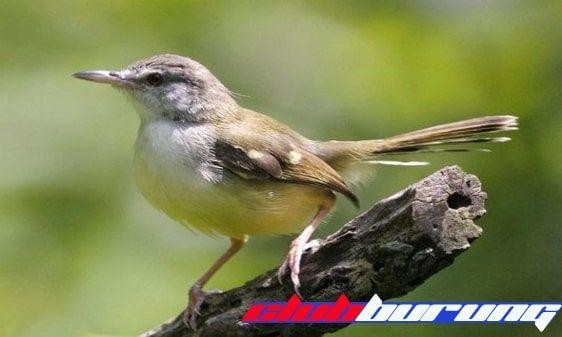Download Suara Ciblek Kristal Gacor Ngebren Mp3 Burung Binatang Suara