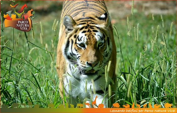 #Tigre siberiana by #Parco #Natura Viva