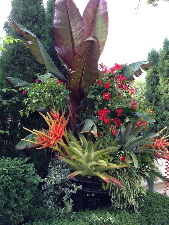 tropicals in large pot purple banana bird of paradise spider plant mandevilla bromeliads