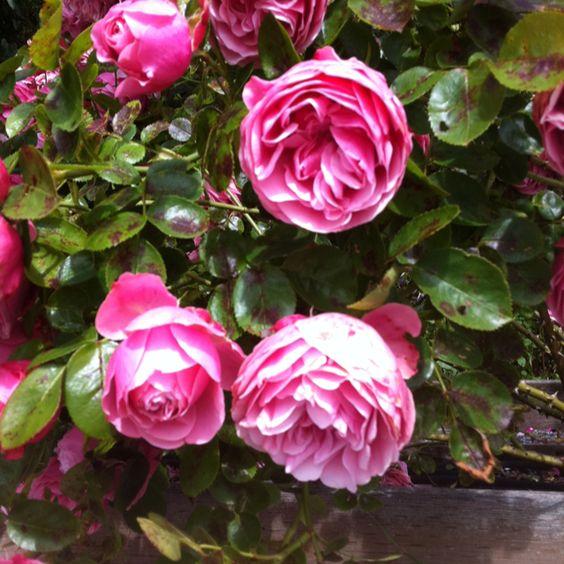 Old Bainbridge Island roses soaking up the sun, salt and sea. Photo: Kathe Fraga 2012