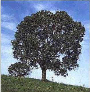 arboles de cuba - Árbol de caoba