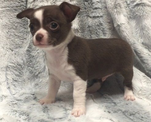 Chihuahua Puppies For Sale New Bedford Ma Chihuahua Puppies