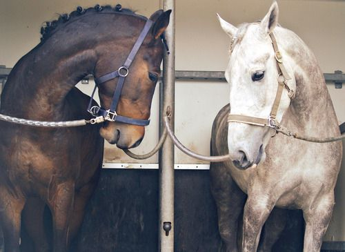 Friendship horses waiting in the trailer