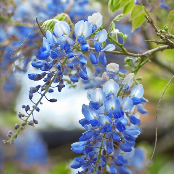 Blue Chinese Wisteria Tree Wisteria Tree Chinese Wisteria Flower Garden Plans
