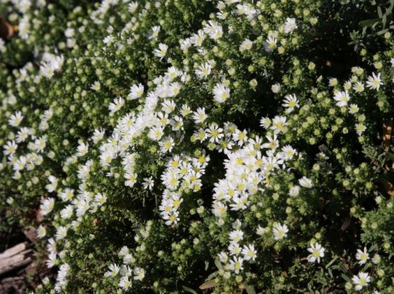 Teppich-Aster 'Snowflurry' - Aster pansus 'Snowflurry'