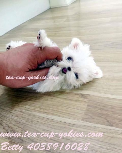 Miss Amazing micro puppy sold by Betty's Tea Cup Yorkies