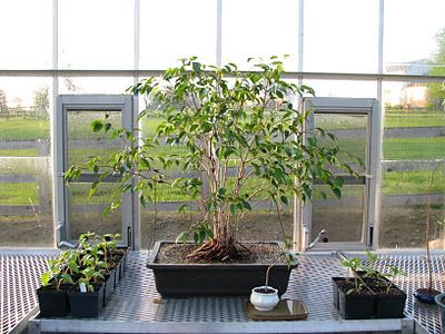 Bonsai making Ficus benjamina