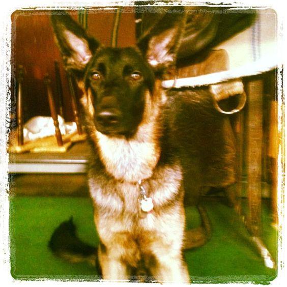 My baby listens so well :)  #dog  #german  #germanshepherd  #gsd  #pup  #puppy  #germanshepherddog  #mansbestfriend  #saddle  #western  #westernsaddle  My baby listens so well :)  #dog  #german  #germanshepherd  #gsd  #pup  #puppy  #germanshepherddog  #mansbestfriend  #saddle  #western  #westernsaddle