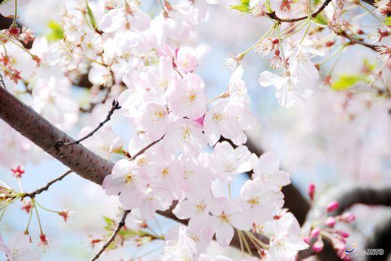 Kirschblüten in Tokio, Japan.