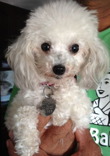 Adopt Judy Tiny Toy On Petfinder Toy Poodle Puppies Tiny Toy Poodle Poodle Puppy