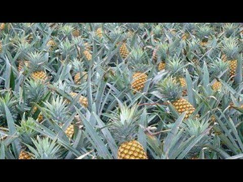 زراعة الاناناس في المنزل وفي المشاريع الزراعية شرح عملي عن زراعة الاناناس واسرار لم تعرفها من قبل Youtube Fruit Pineapple