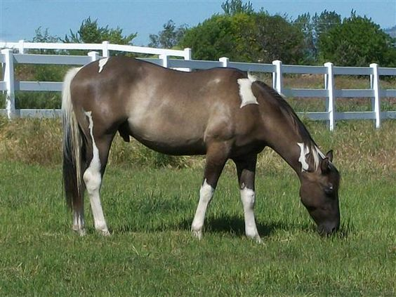Pictures Of Dun Paint Horses