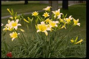 Daylilies are many gardeners' favorite plants. They are dependable perennials, they are prolific and colorful bloomers, and they are relatively free of pests. Daylilies are tolerant of drought and flooding, immune to heat stress, tolerant of most soils and grow well in full sun or light shade.