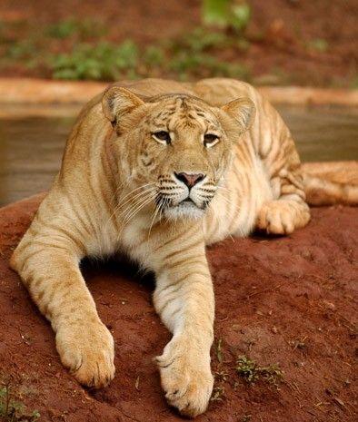 A liger. For reals.