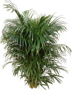 Palm plant houseplant and palms on pinterest for Areca palm safe for cats