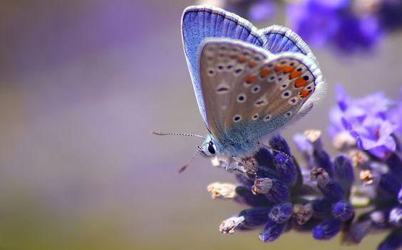 Mooie vlinder op een paarse bloem   Achtergrond Wallpapers