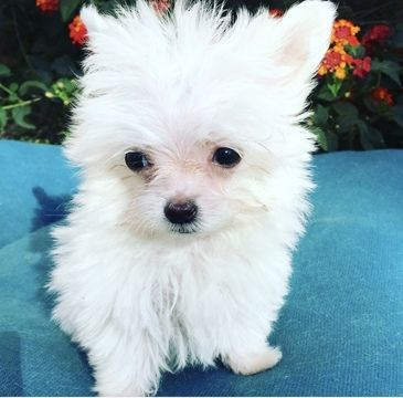 Maltese Puppy For Sale In Los Angeles Ca Adn 56066 On