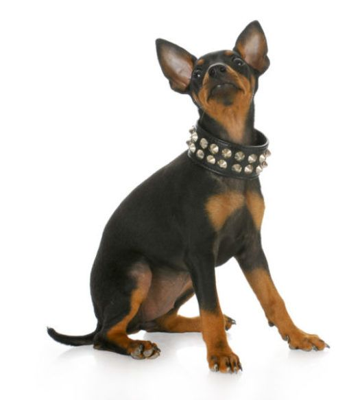 Manchester Terrier Puppies For Sale Related Searches Manchester