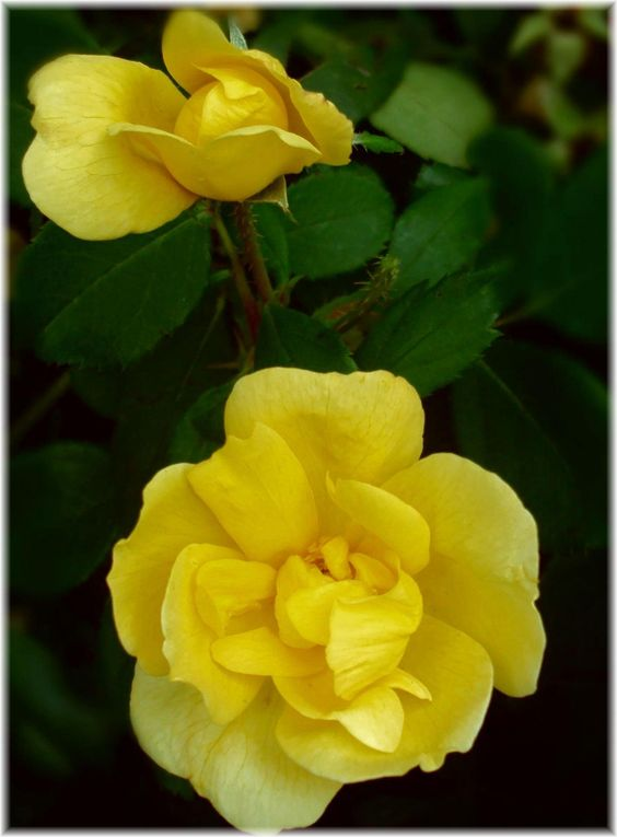 Roses In Garden: Like Their Knock-out Cousins