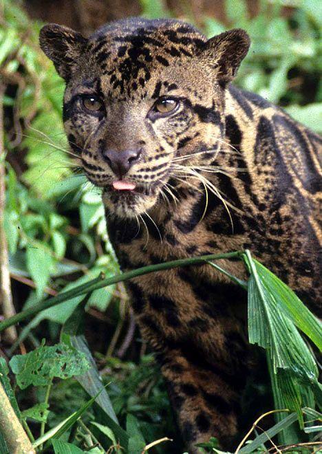 Bornean Clouded Leopard Teeth New species of leopard...