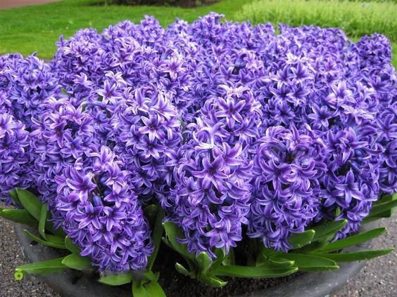 If I have one flower sea, I will choose purple color.
