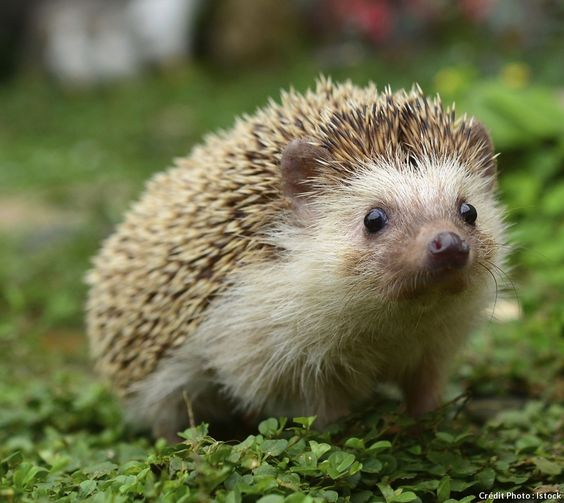 B b porc pic animaux and comment on pinterest - Comment nourrir un herisson dans son jardin ...