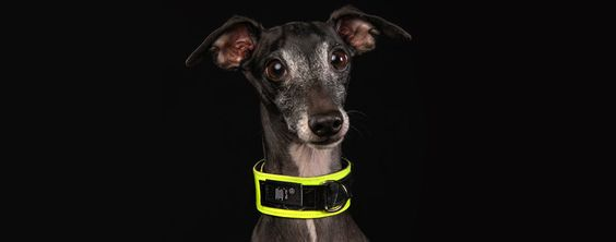 Check our Rocker Screaming Neon Dog Collar at www.pjays.de