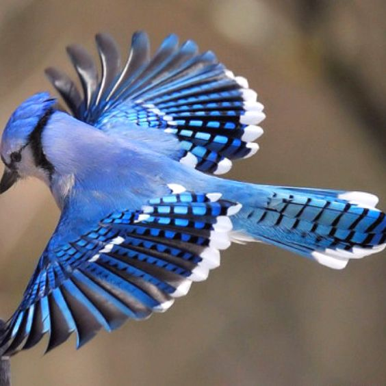 Hawk Call, Blue Jay And The Crow On Pinterest