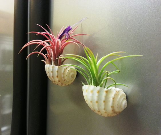 Coloré mexicain Air plantes en coquillage petits aimants - Shell minuscule Terrariums