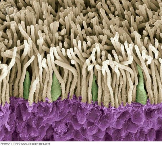 Retina. Coloured scanning electron micrograph (SEM) of rods (yellow) and cones (green) in the retina of the eye. The outer nuclear layer is purple. Magnification x1800 when printed at 10 centimetres wide. [F0010041] Incredible!!:
